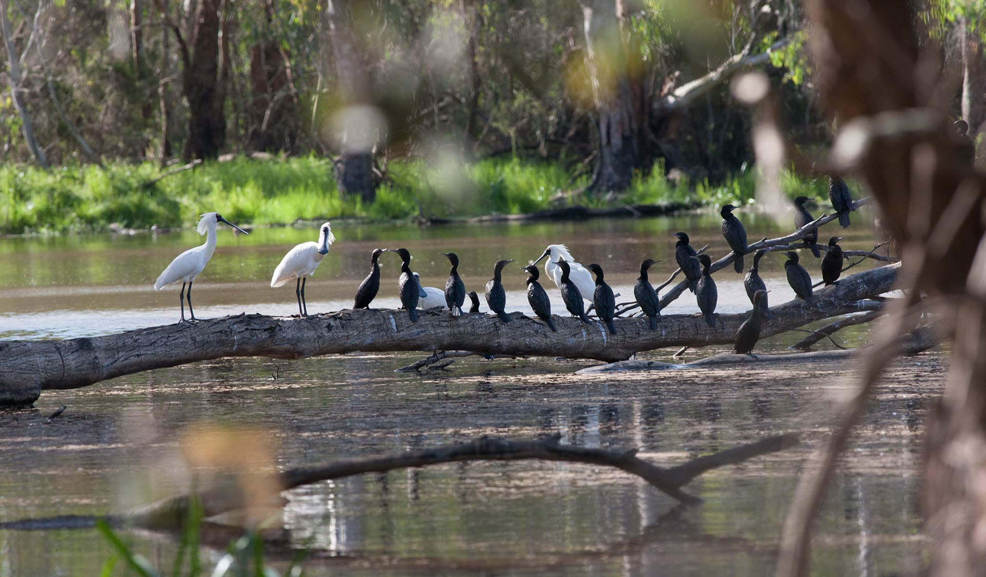 Spoonbills and cormorants sit upon a tree limb in Barmah National Park