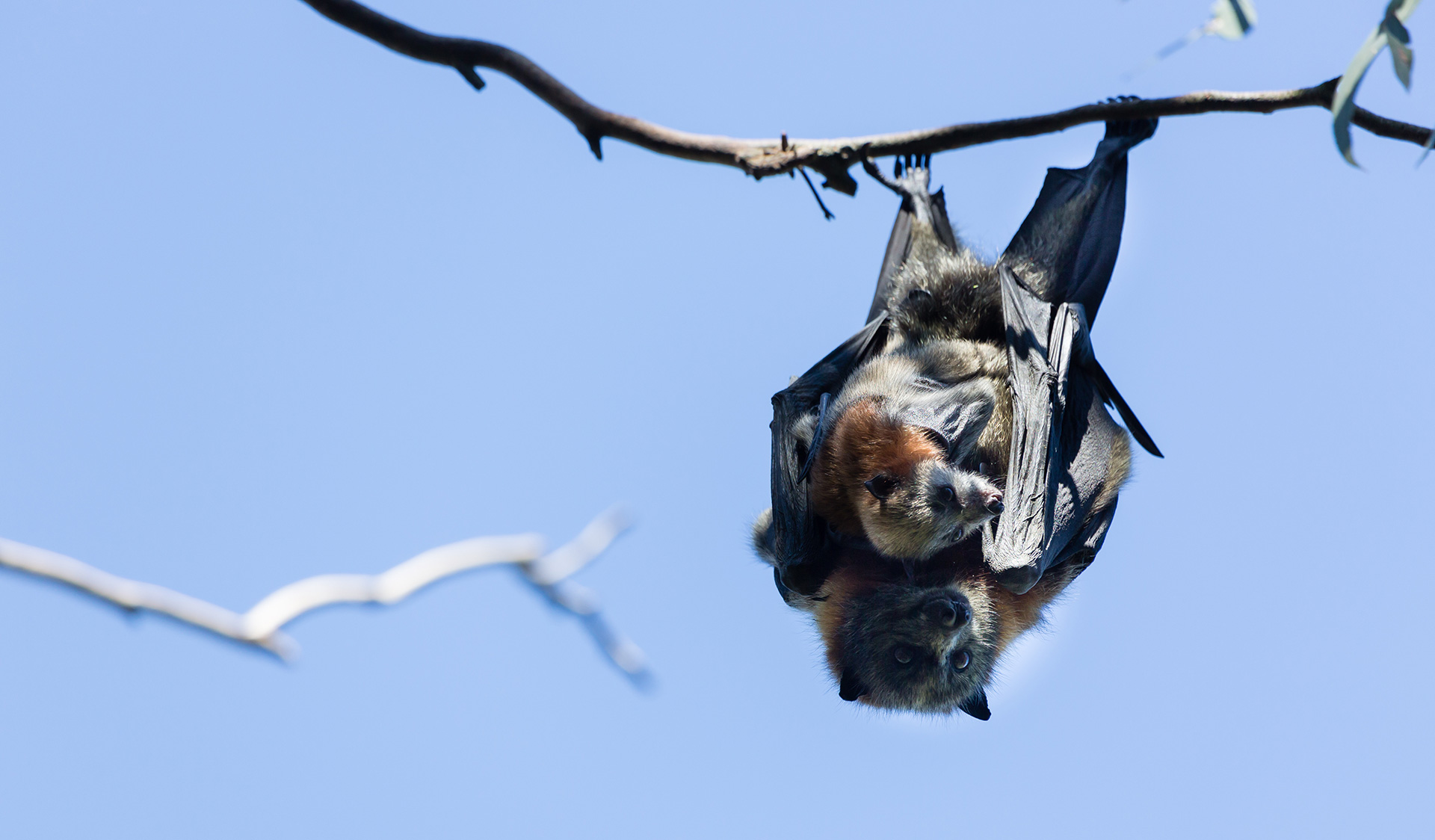 A Grey Headed Flying Fox hangs upside down from a tree in Yarra Bend Park.