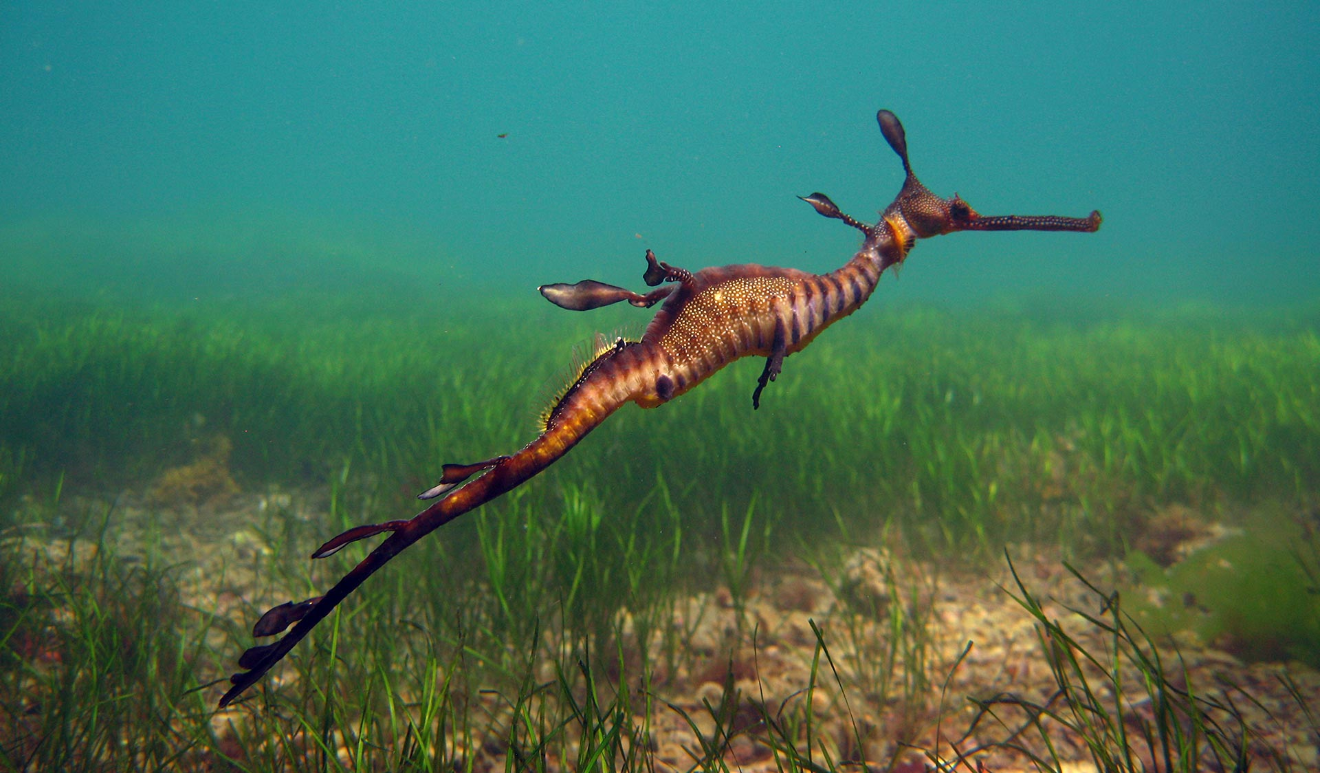 A weedy seadragon swims along near the sea bed.