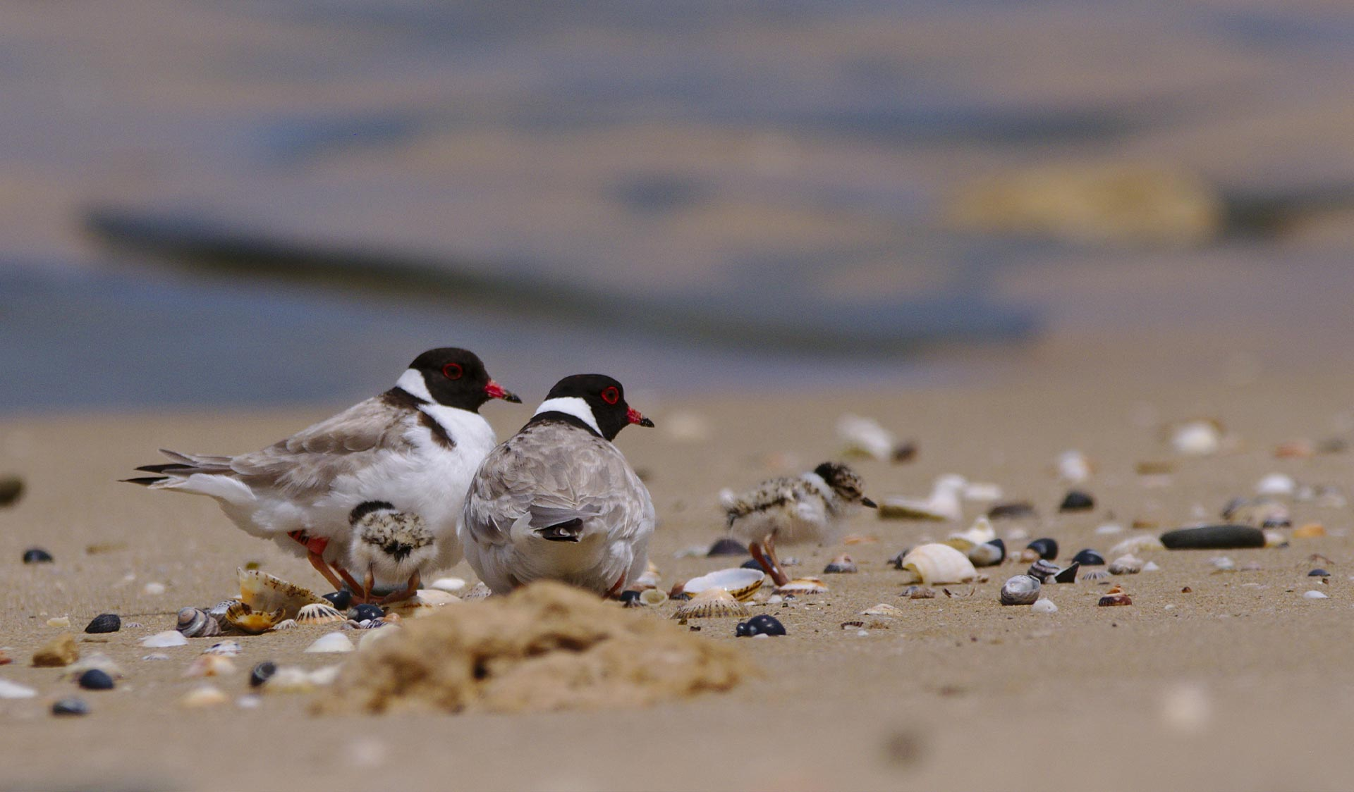 Hooded plovers and chick on the sand at Belfast Coastal Reserve