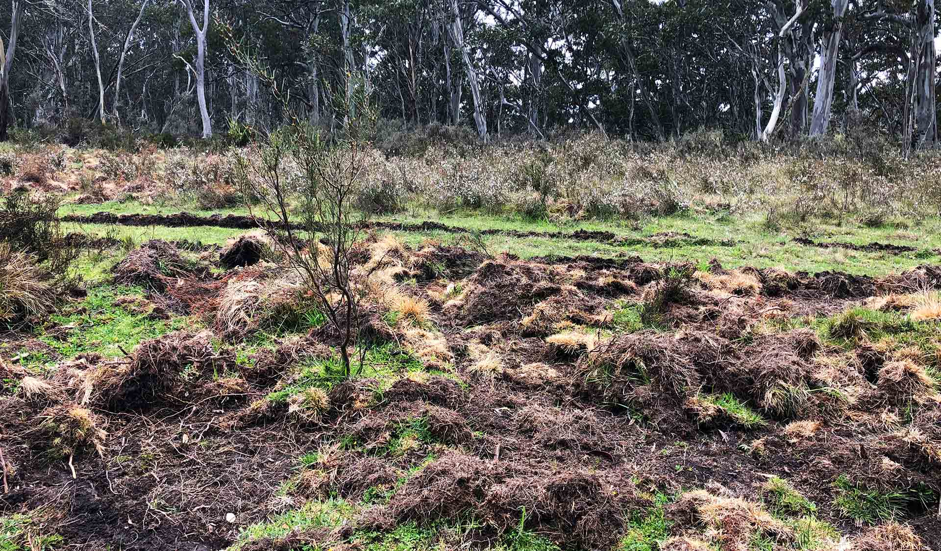 Feral pig damage to native peatlands in the Alpine National Park