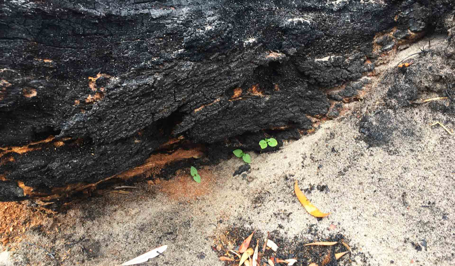Dolichos pea (weed) germinating from under a burnt log at Cape Conran Coastal Park after 2019-20 bushfires