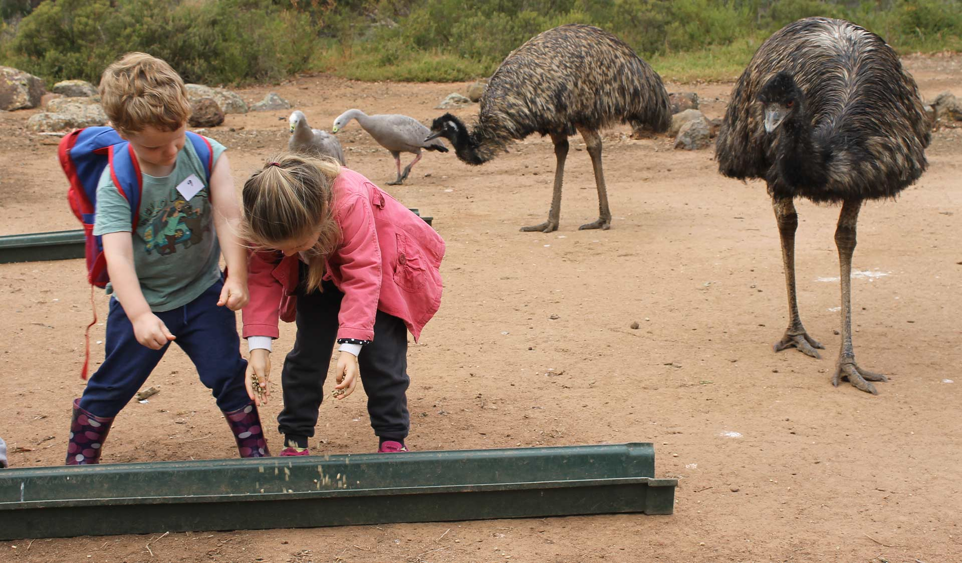 Two young children put feed in to a trough to feed emus at Serendip Sanctuary