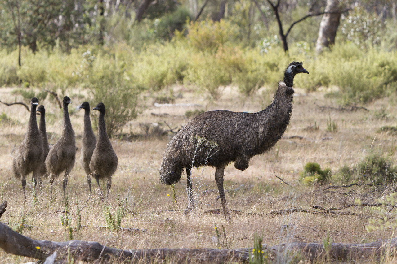 Emu and baby emus