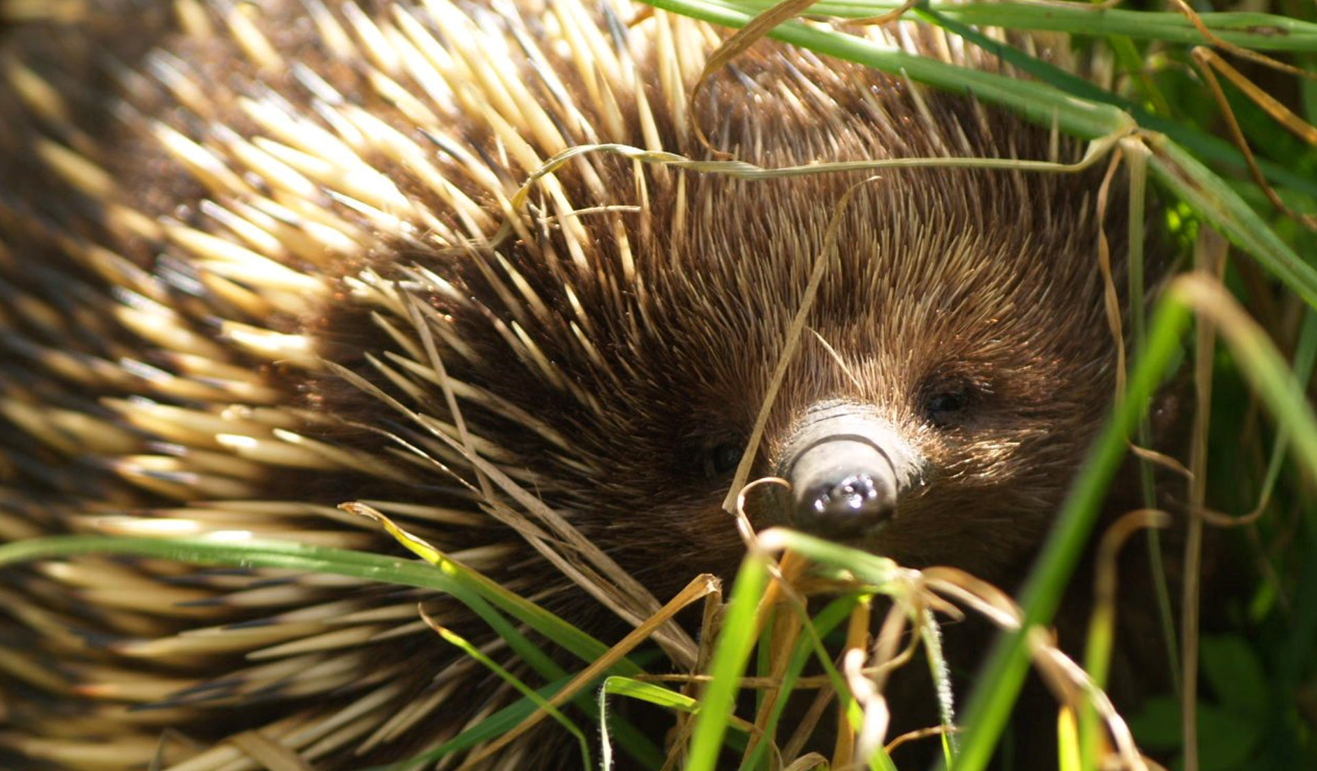 An echidna in the grass.