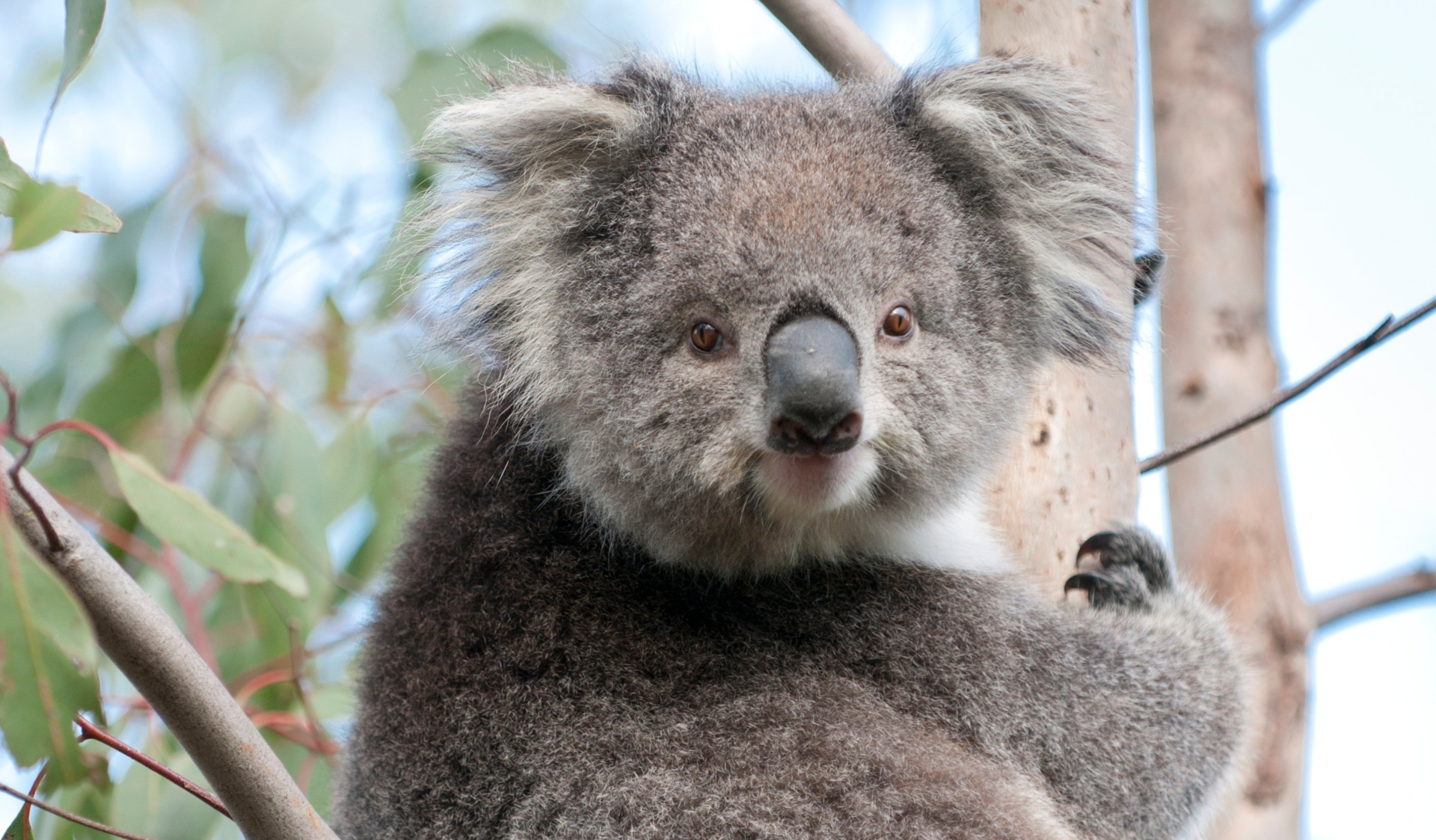 A koala sitting in a tree at French Island National Park.