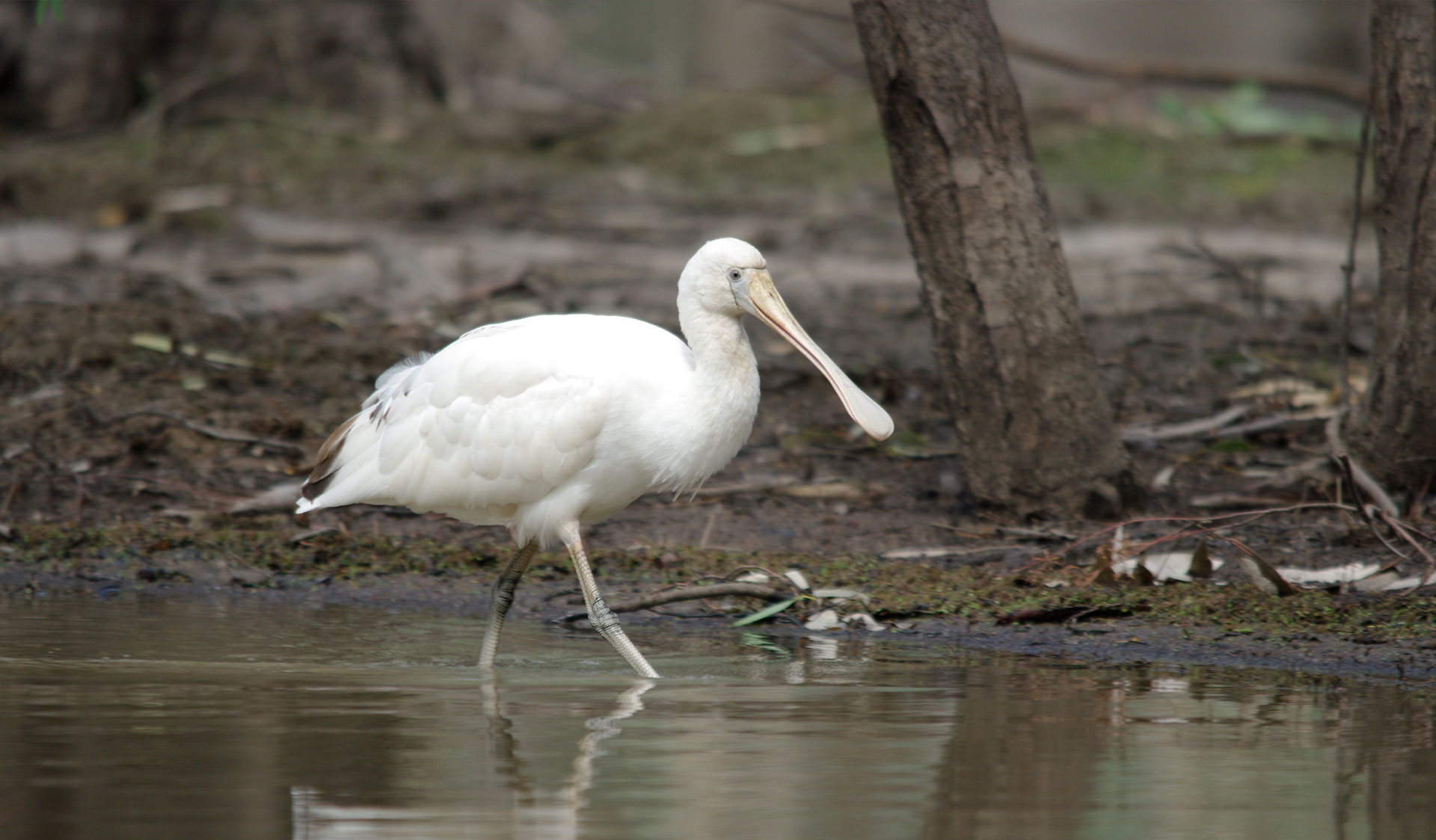 A spoonbill wades through water near the rivers edge at Barmah National Park