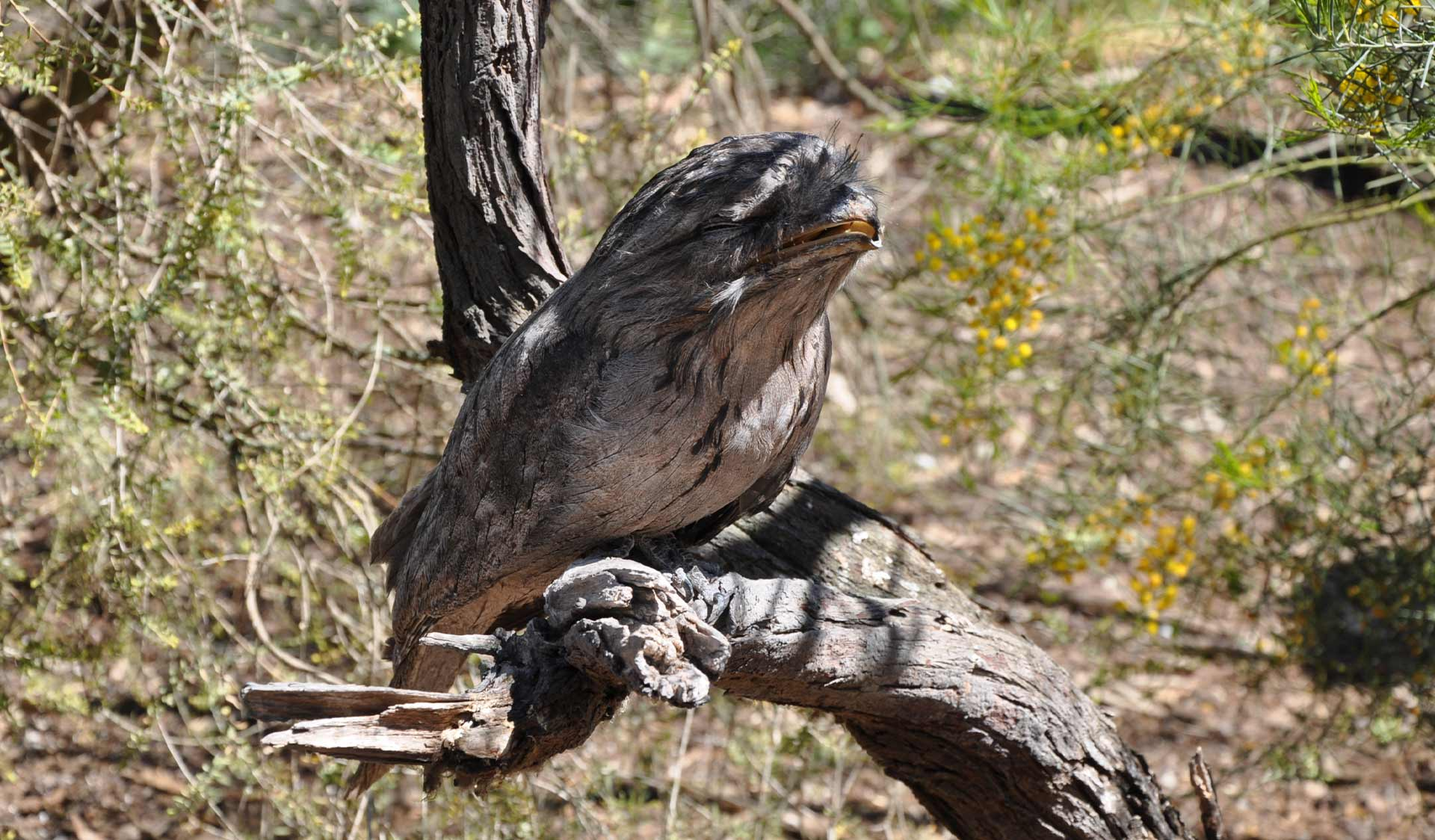 A tawny frogmouth perched on a branch