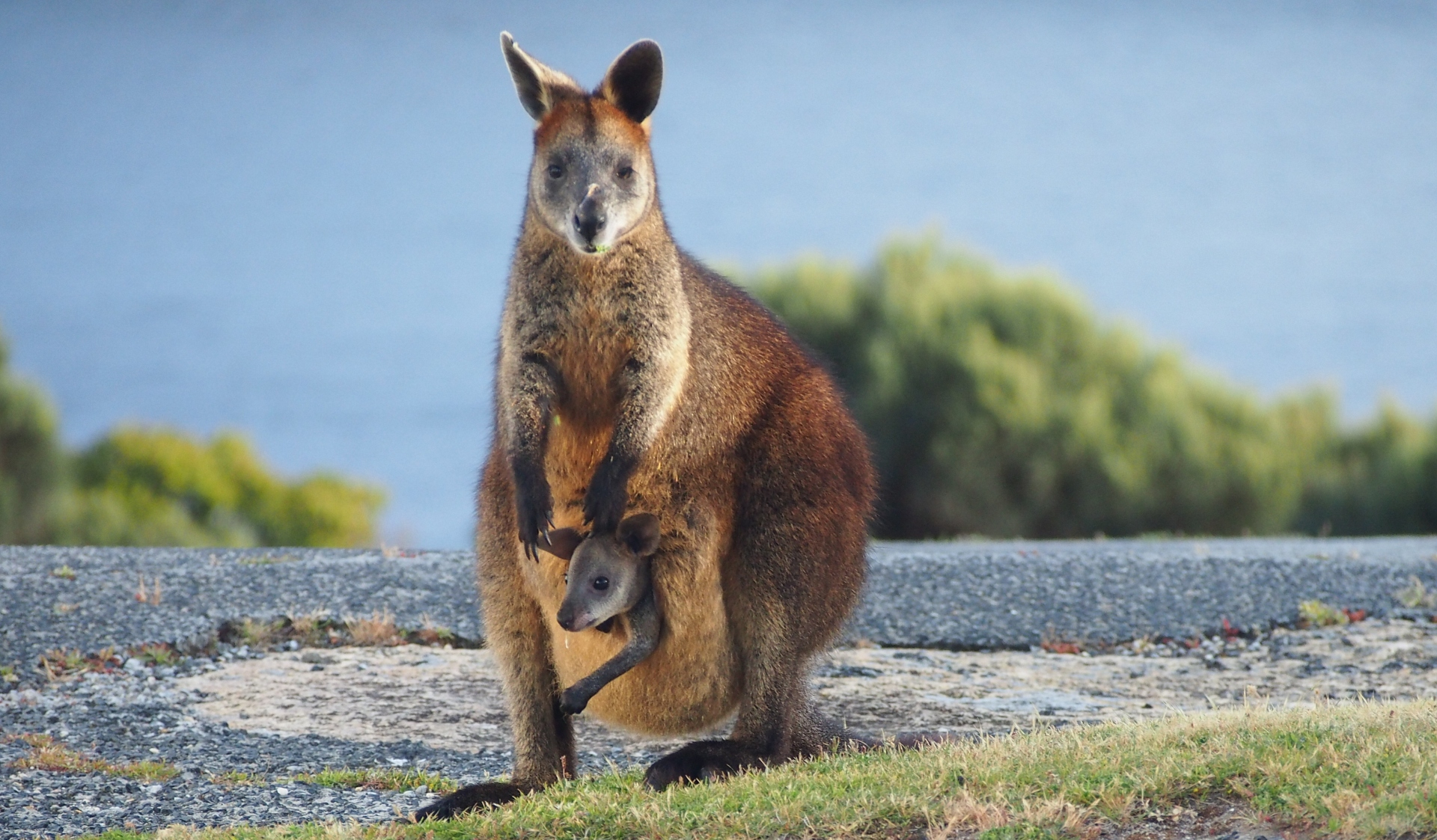 A mother and joey wallaby on a rock surface with the ocean in the background at Wilsons Promontory National Park.