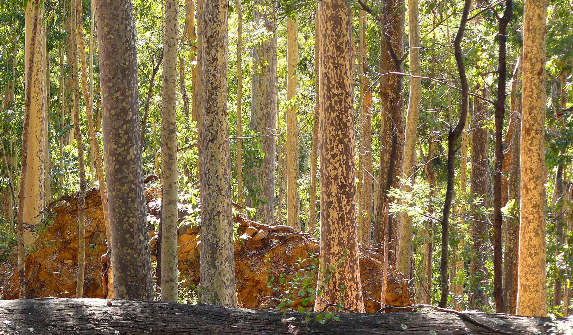 Spotted gums