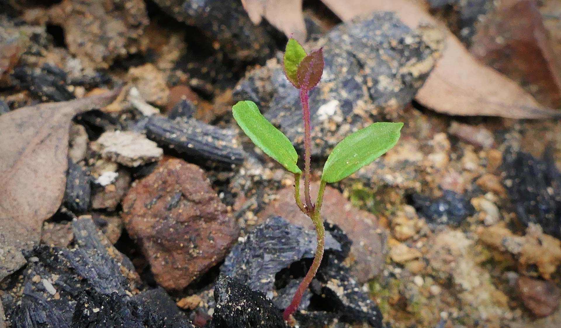 Spotted gum seedling