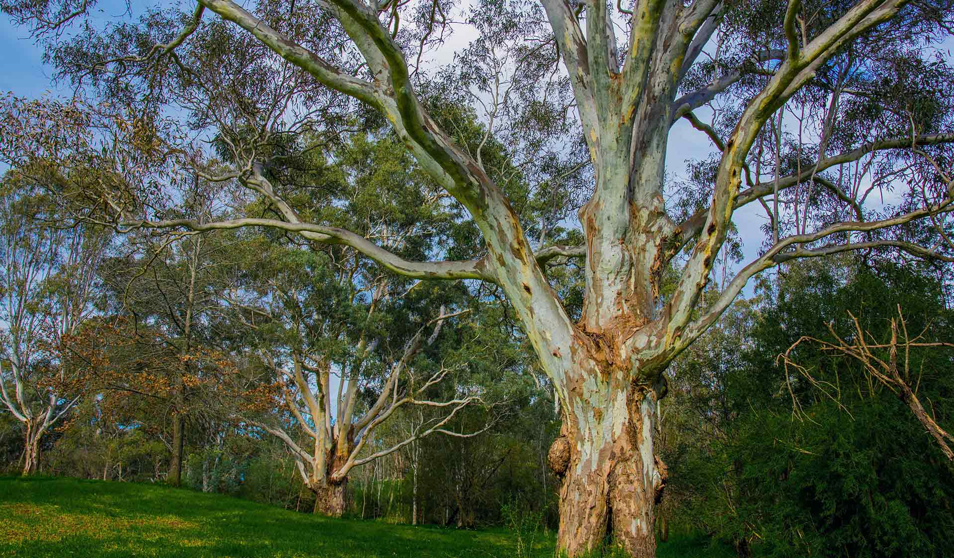 A river red gum in Banksia Park.