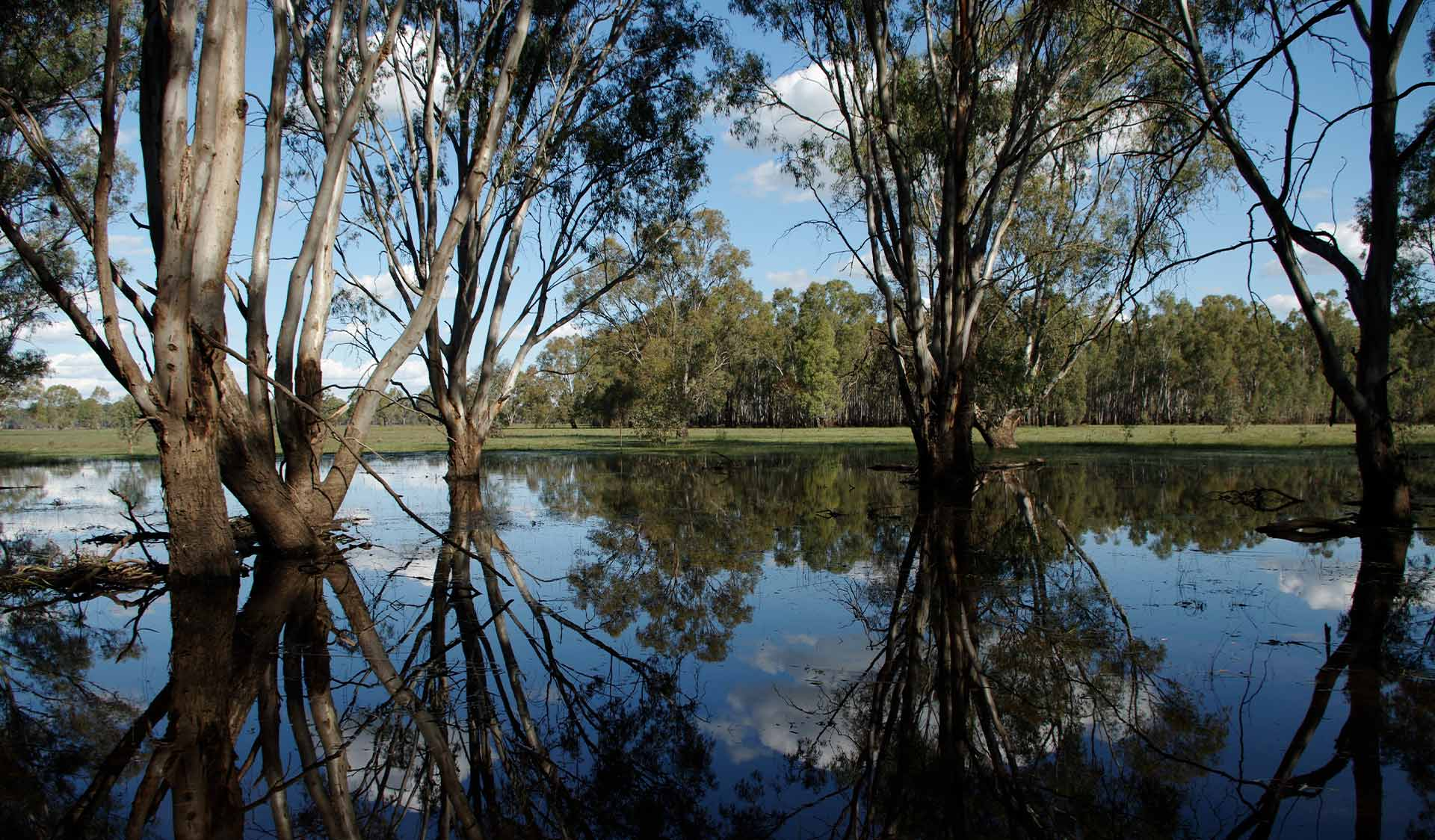 A reflection on the water's surface of river red gums in Barmah National Park
