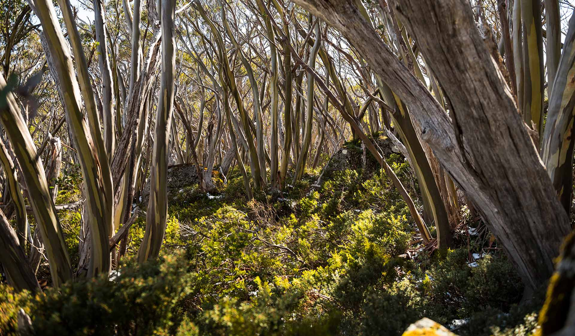 Snowgums on the Baw Baw Plateau.