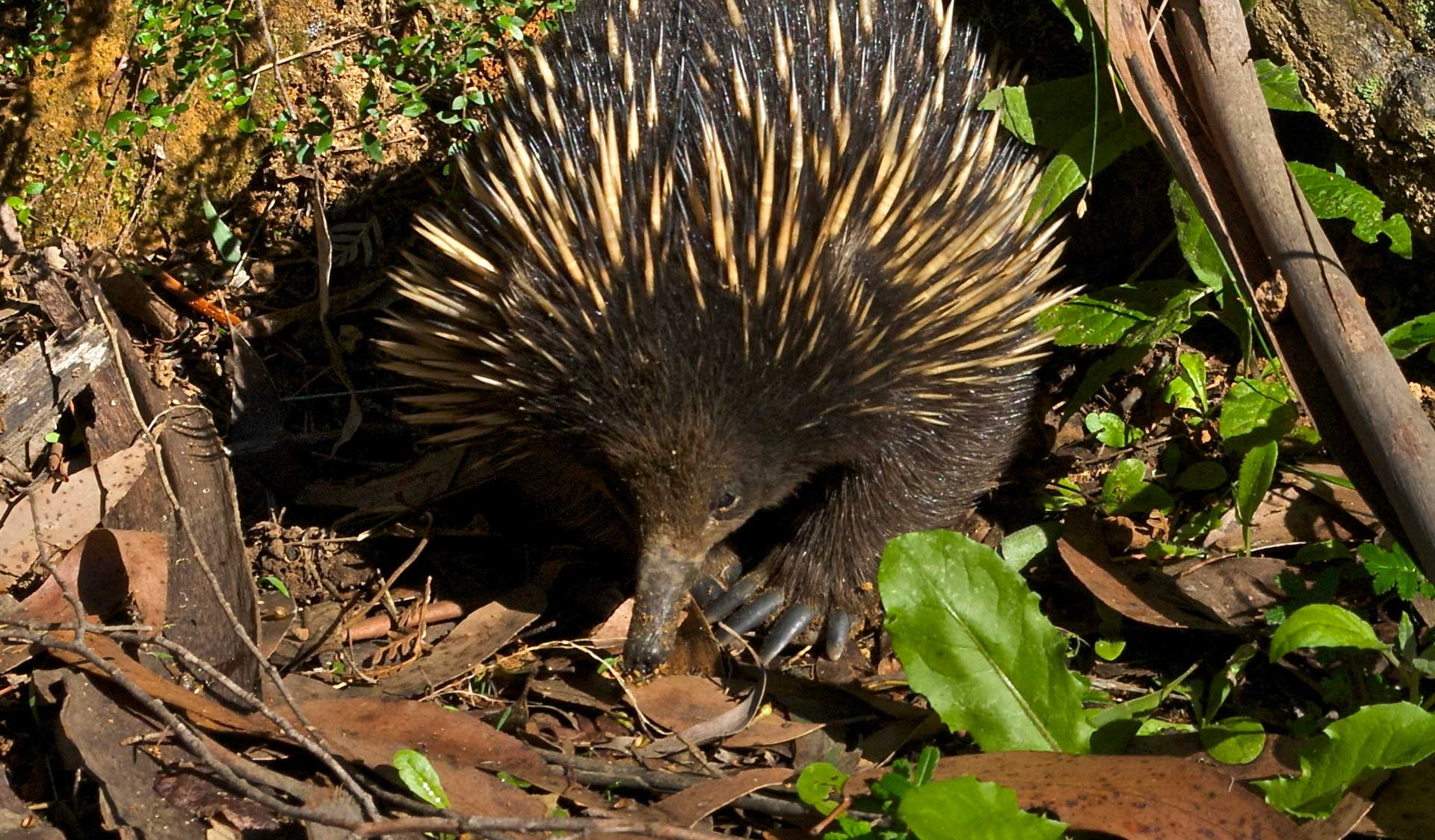 An echidna digs through the under growth in Brisbane Ranges National Park