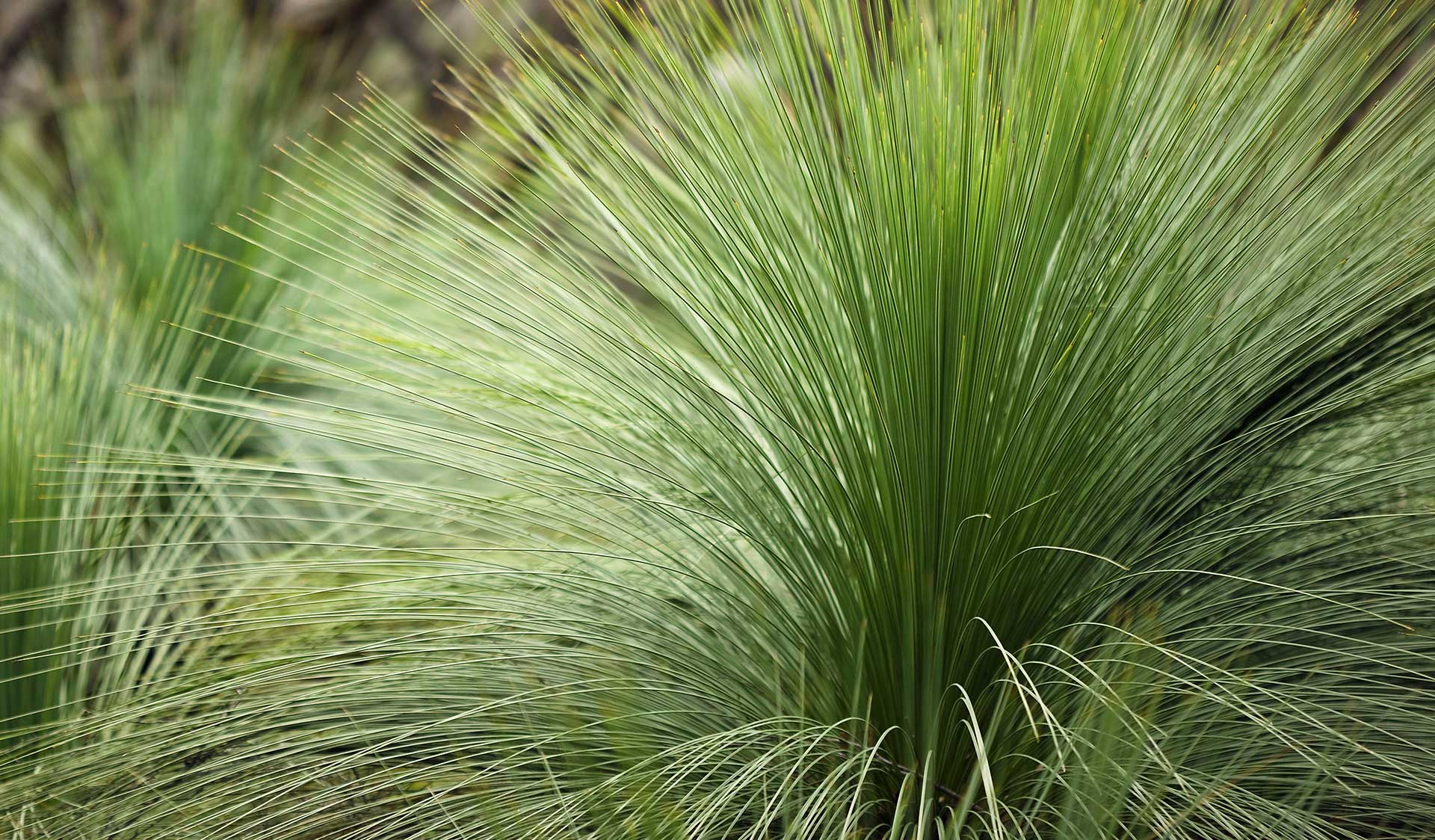 Grass in the Brisbane Ranges