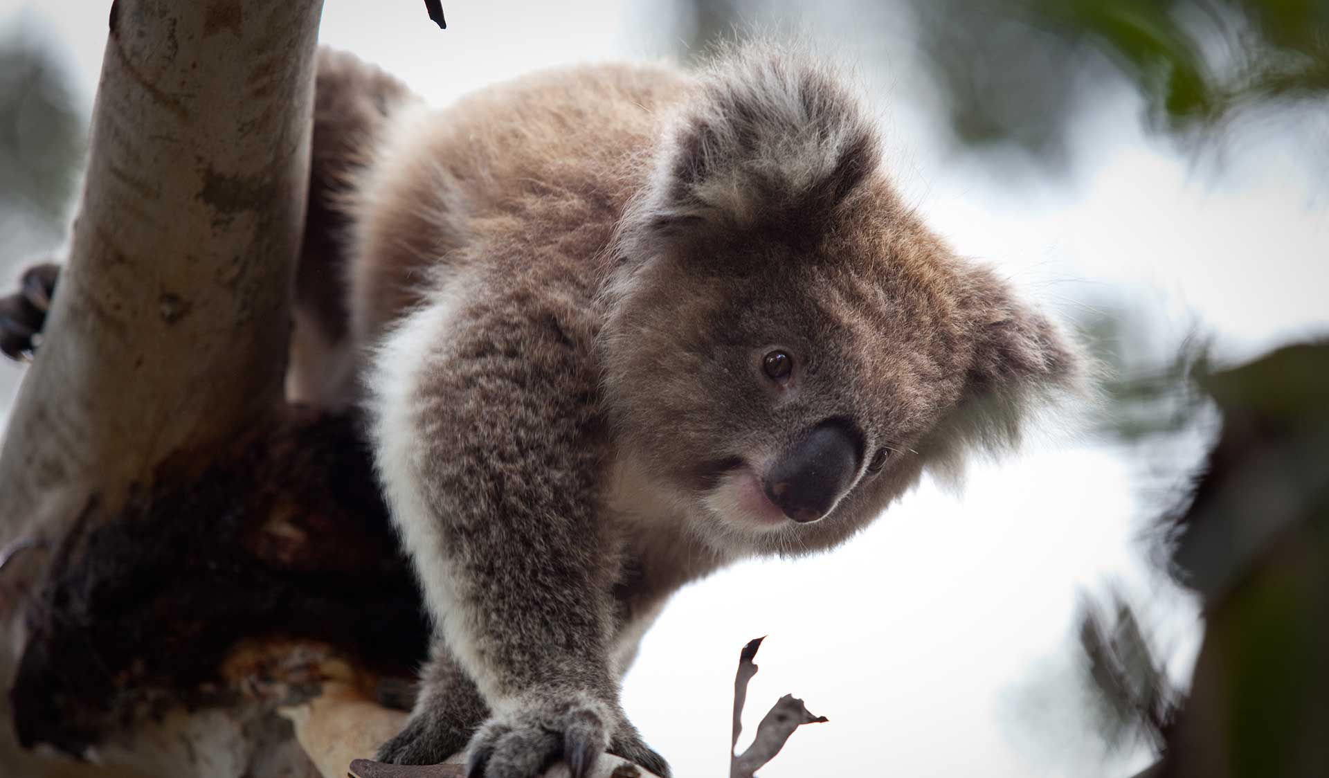 A koala in a tree in the Brisbane Ranges National Park.