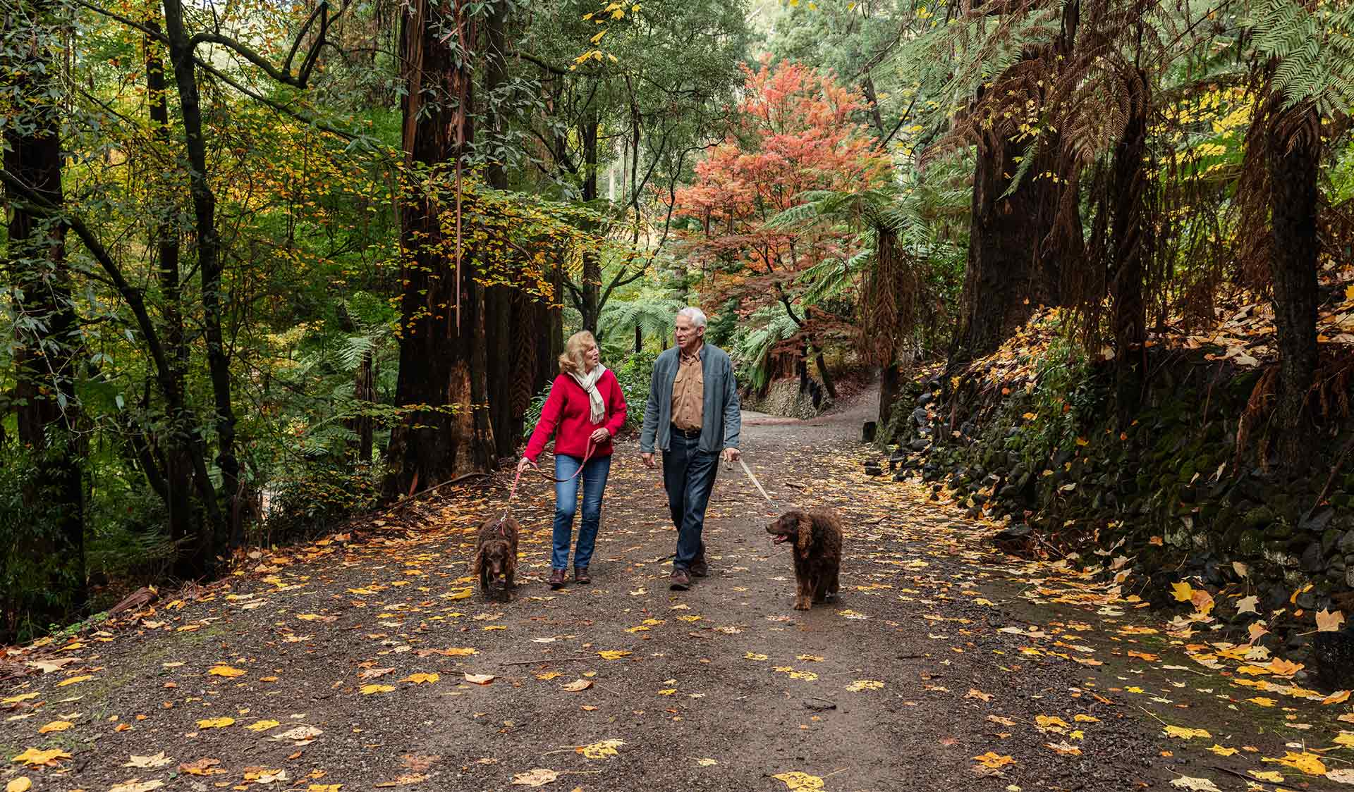 A couple in their sixties walk their two flat coated retriever dogs through the Alfred Nicholas Gardens among the changing autumn colours .