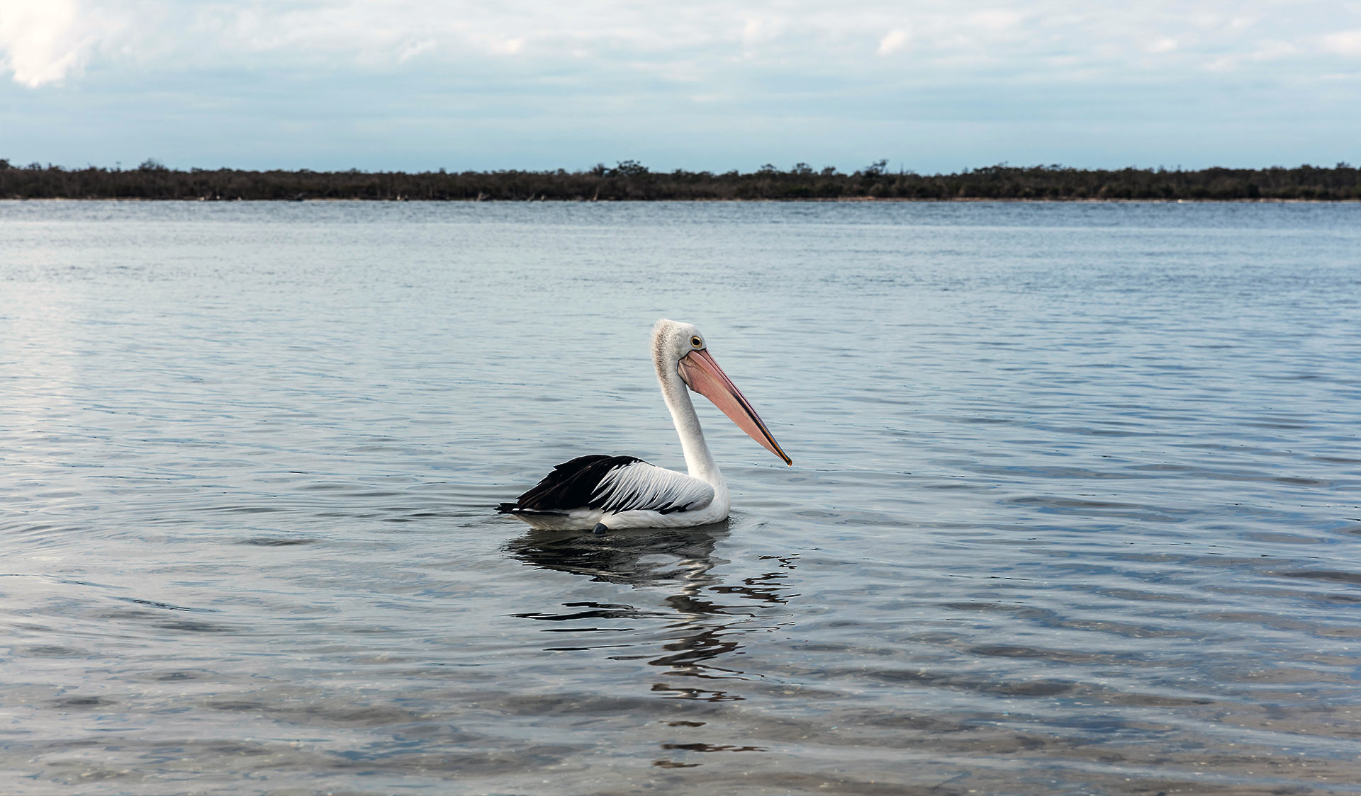 A pelican on the water at the Lakes National Park in Gippsland.