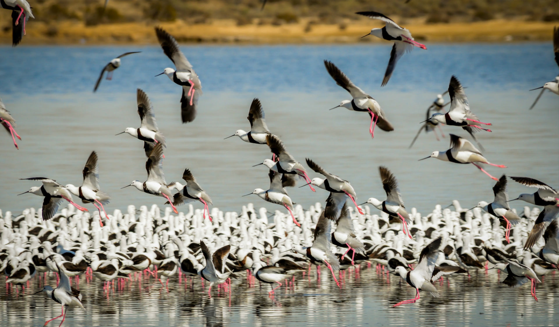 Banded-Stilts-Gippsland-Lakes-Coastal-Parks