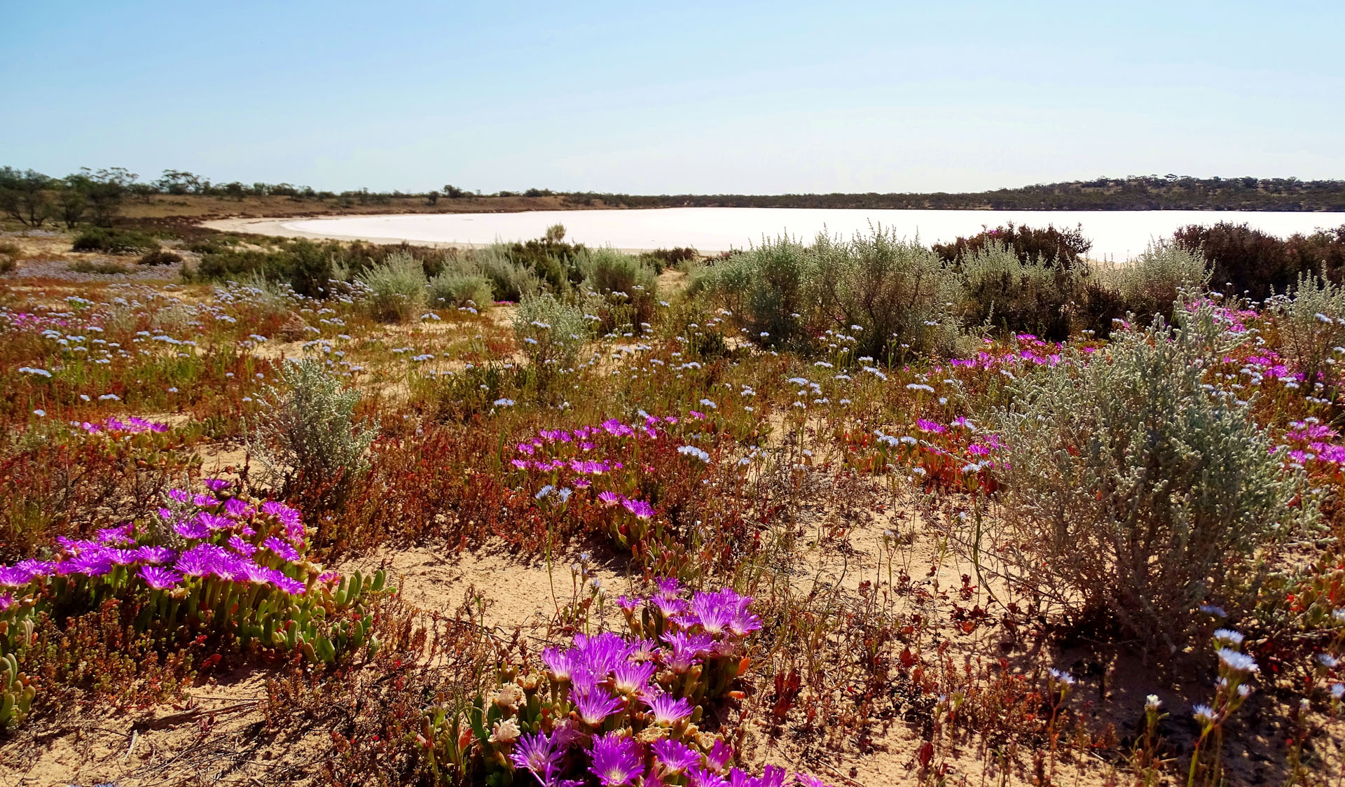 Wildflowers at Pink Lakes, Murray-Sunset National Park