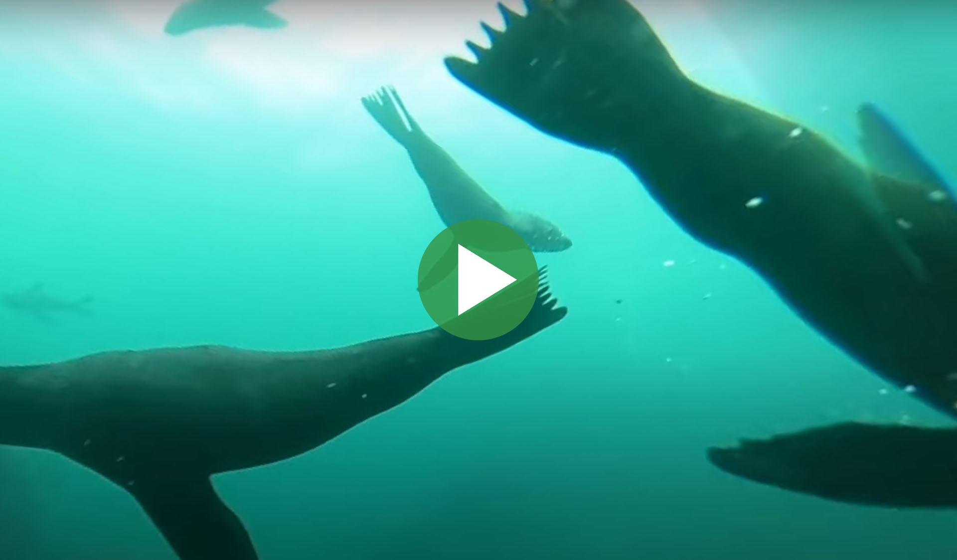Still image of the Diving with Long-nosed Fur Seals at Gabo Island 360 video part 2 video, with play icon overlay.